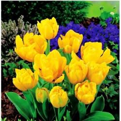 Tulpės - Yellow Baby - 1vnt.