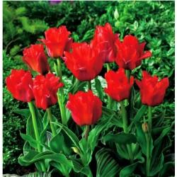 Tulpės - Double Red- 1vnt.