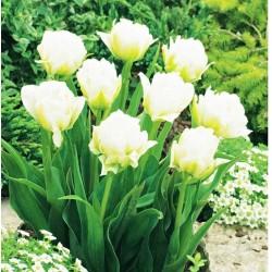 Tulpės - Global Desire- 1vnt.