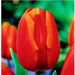 Tulpės 'Triumph Orange' - 1...