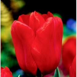 Tulpės 'Triumph Red' - 1 vnt.