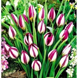 Tulpės Botaninės 'Persian...