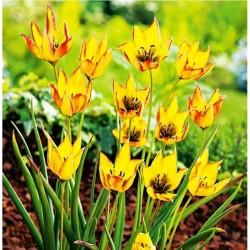 Tulpės Botaninės...