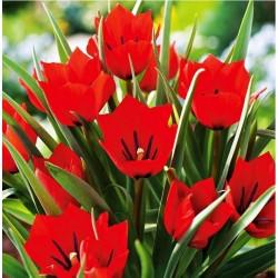 Tulpės Botaninės 'Red...
