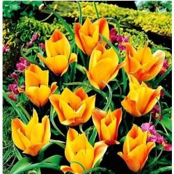 Tulpės Botaninės 'Bronze...