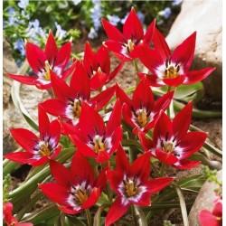 Tulpės Botaninės 'Tiny...