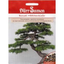 Pušis (Pinus Pentaphylla) -...