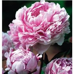 Bijūnai - Sarah Bernhardt -...