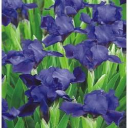 Irisai Little Saphire