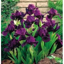 Irisai Cherry garden